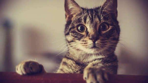 Coronavirus: otro gato da positivo luego de que su dueña se contagiara