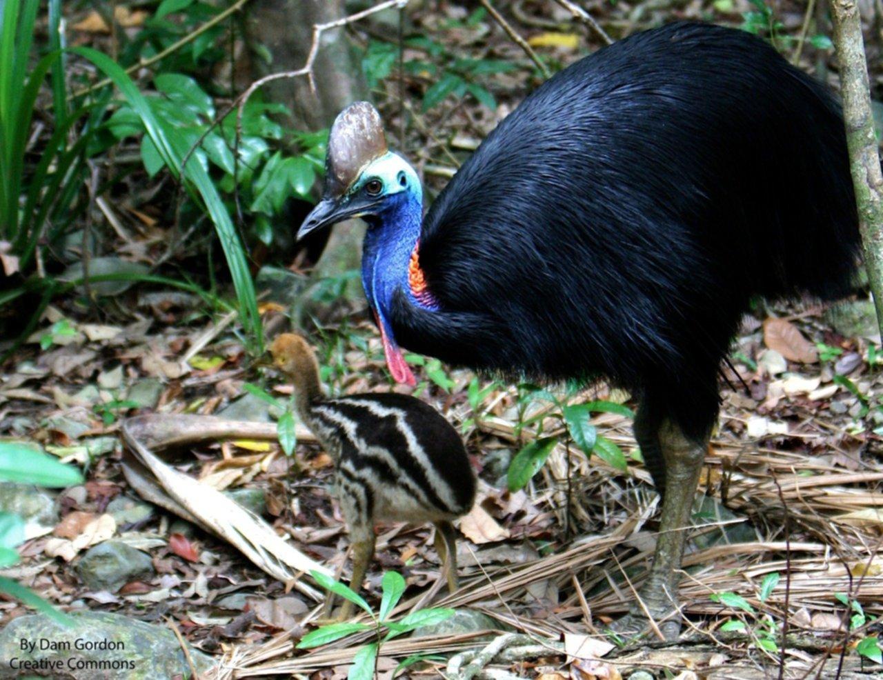 El ave más peligrosa del mundo mató a su dueño