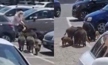 Video: Jabalíes le roban las compras a una mujer saliendo del supermercado