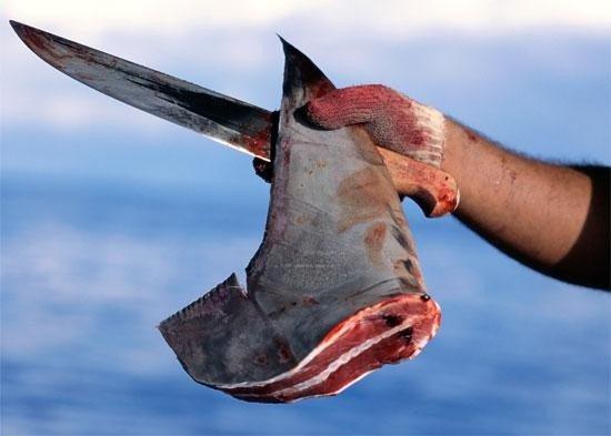 Pescadores le cortan la cola a un tiburón por diversión