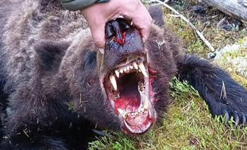 Un oso devoró a un adolescente
