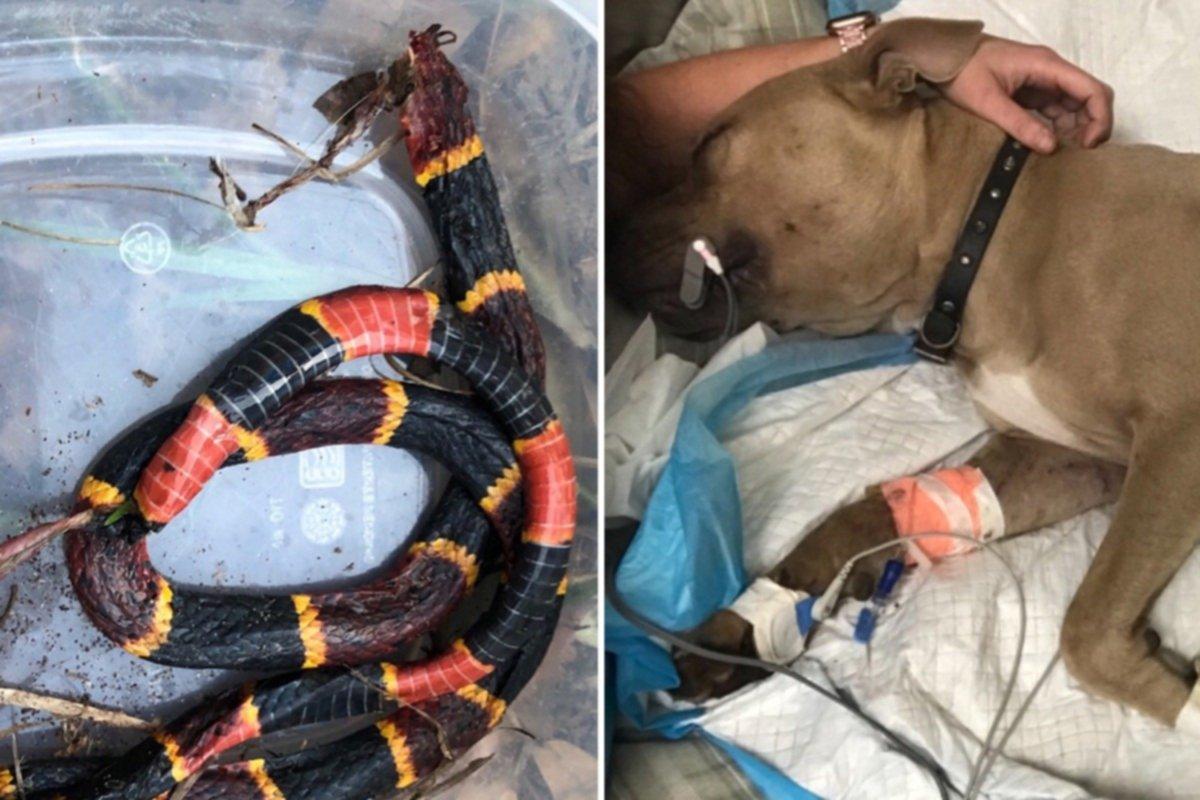 Perro pitbull muere al proteger a dos niños de una serpiente venenosa