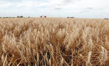 Abandonan lotes con trigo en Argentina por sequía