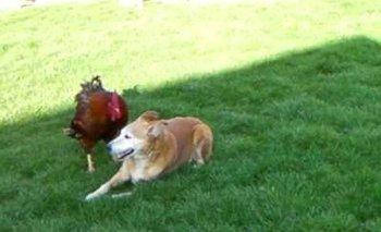 VIDEO: Un gallo y una perra juegan al gato y el ratón