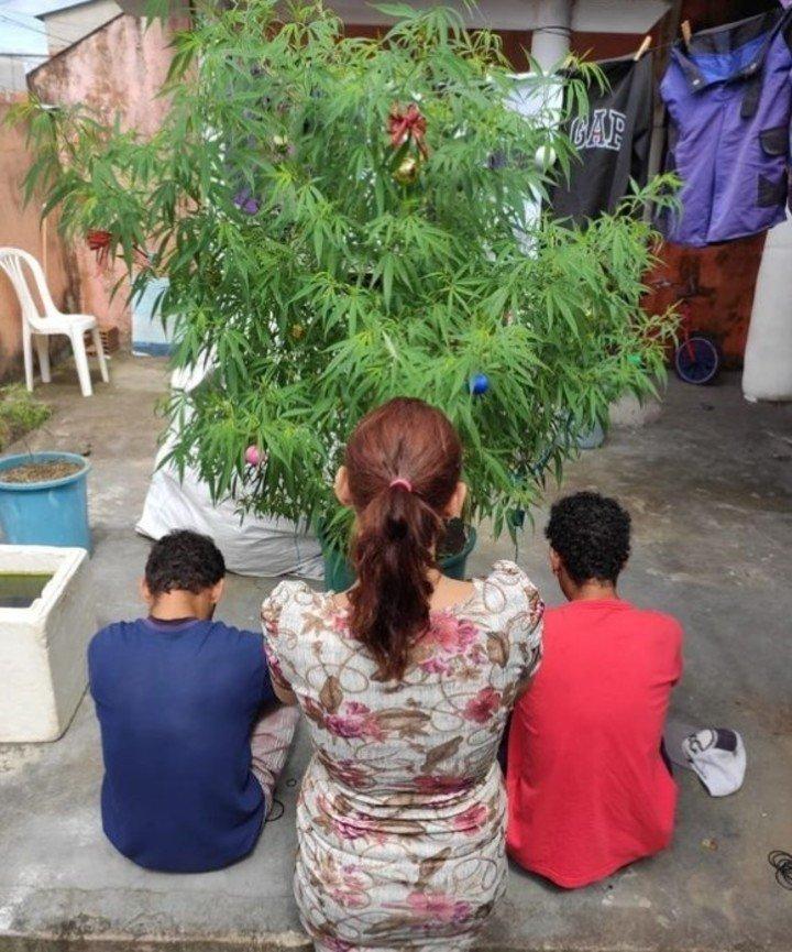 Planta de marihuana era utilizada como árbol de Navidad